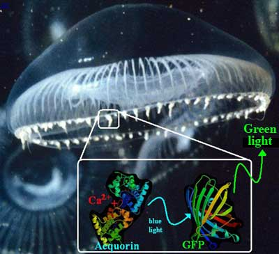 The edge of Aequorea victoria's umbrella contains a bioluminscent protein called aequorin.